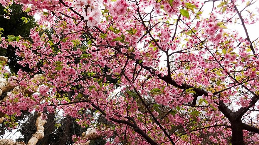 Pflaumenbluete im Shukkei-en Park - Hiroshima