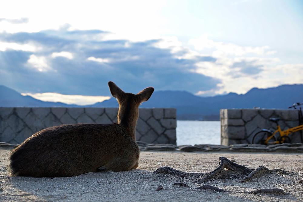 Freilebende Rehe auf Miyajima - Hiroshima