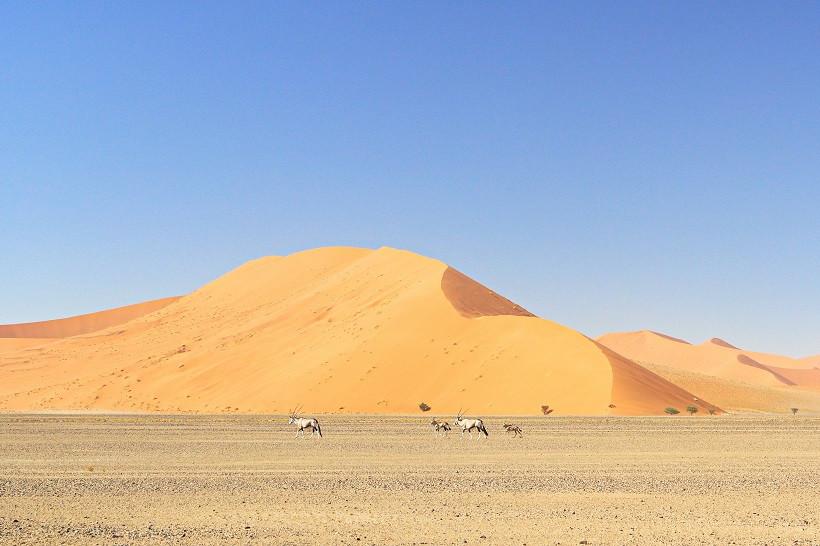 Oryxfamilie vor einer Sanddüne - Namibia