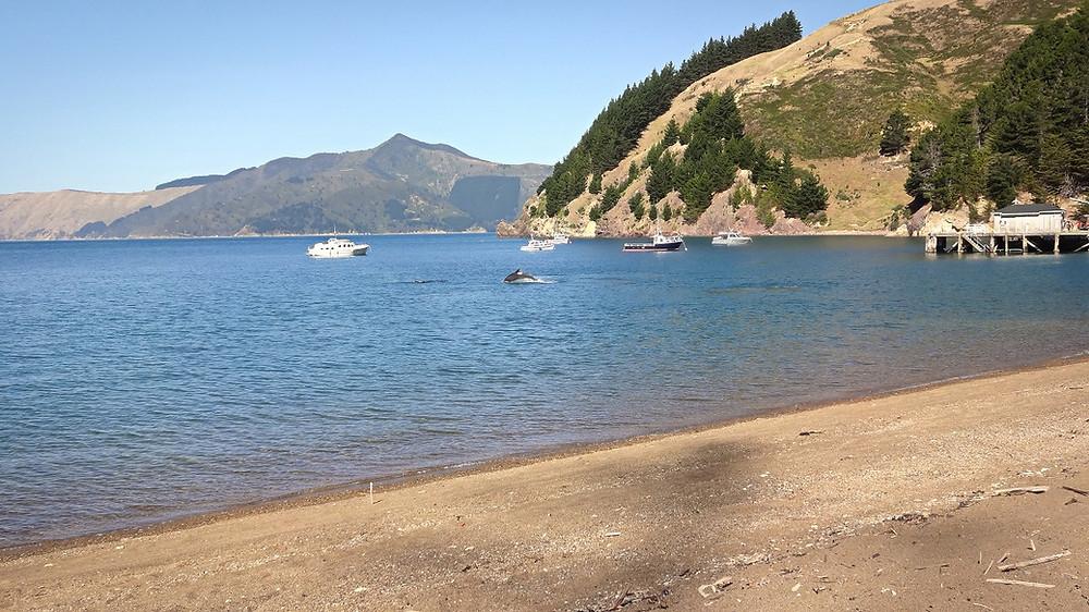 French Pass Delfine Neuseeland