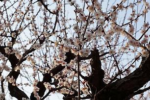 Kirschbluete in Japan.JPG