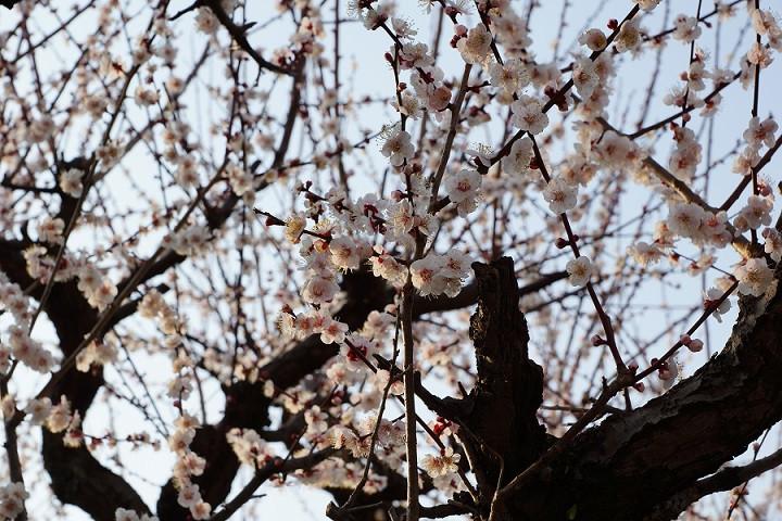 Kirschblüte in Nagoga