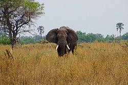 Reisekosten Botswana - elefant in Botswana.jpg