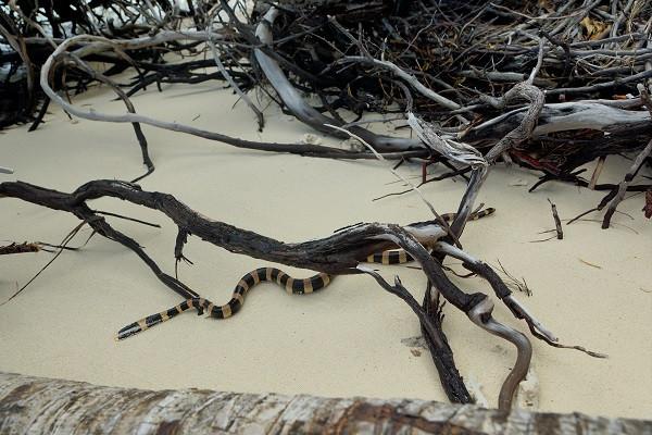 Wasserschlange, Amedee Island - Neukaledonien