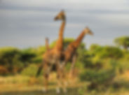 Giraffen-in-Botswana