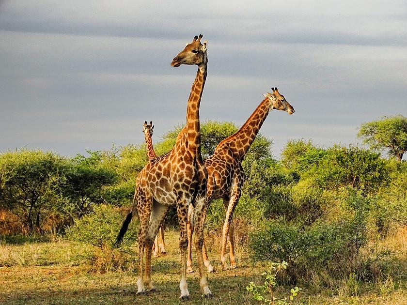 Girafffen - Botswana