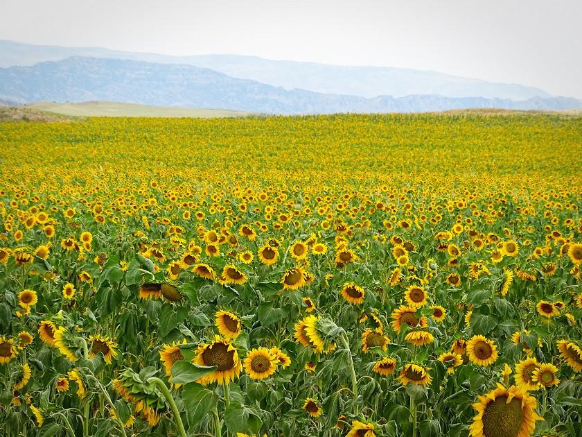 Sonnenblumenfeld auf dem Weg nach Takhti Tepa