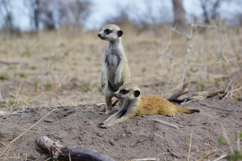 Freilebende Erdmännchen in Botswana