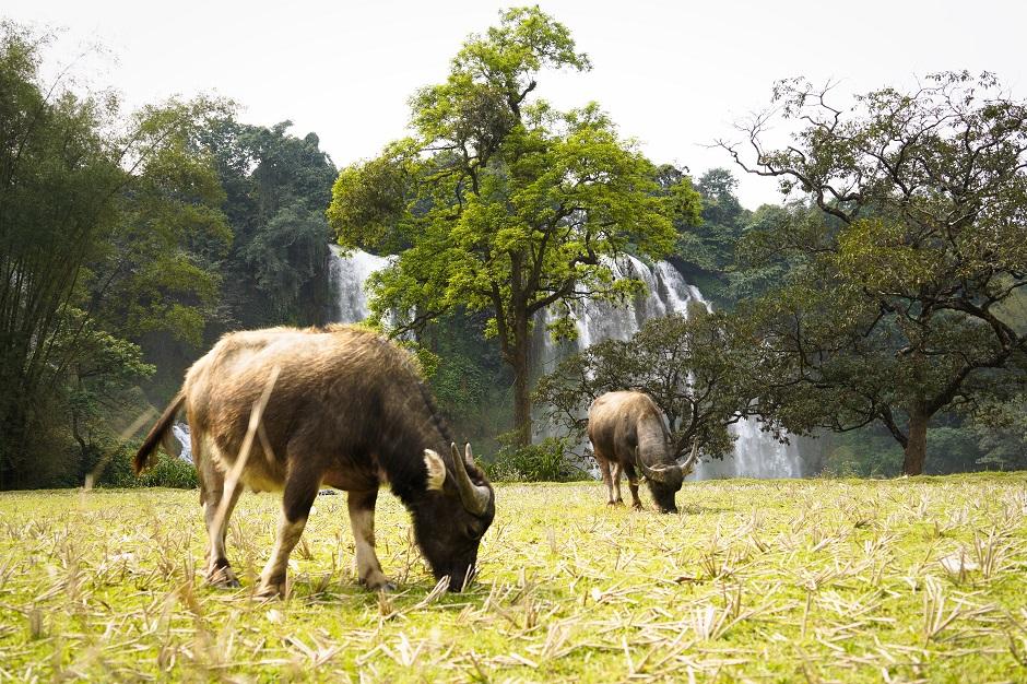 Wasserbüffel grasen vor Wasserfall