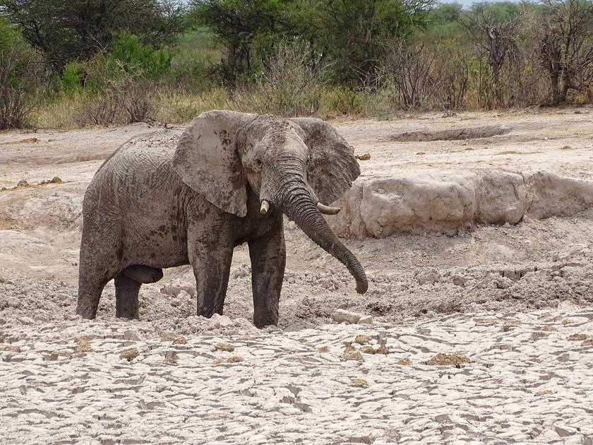 Elefant im Schlamm in der Nähe des South Camp - Nxai Pan Nationalpark