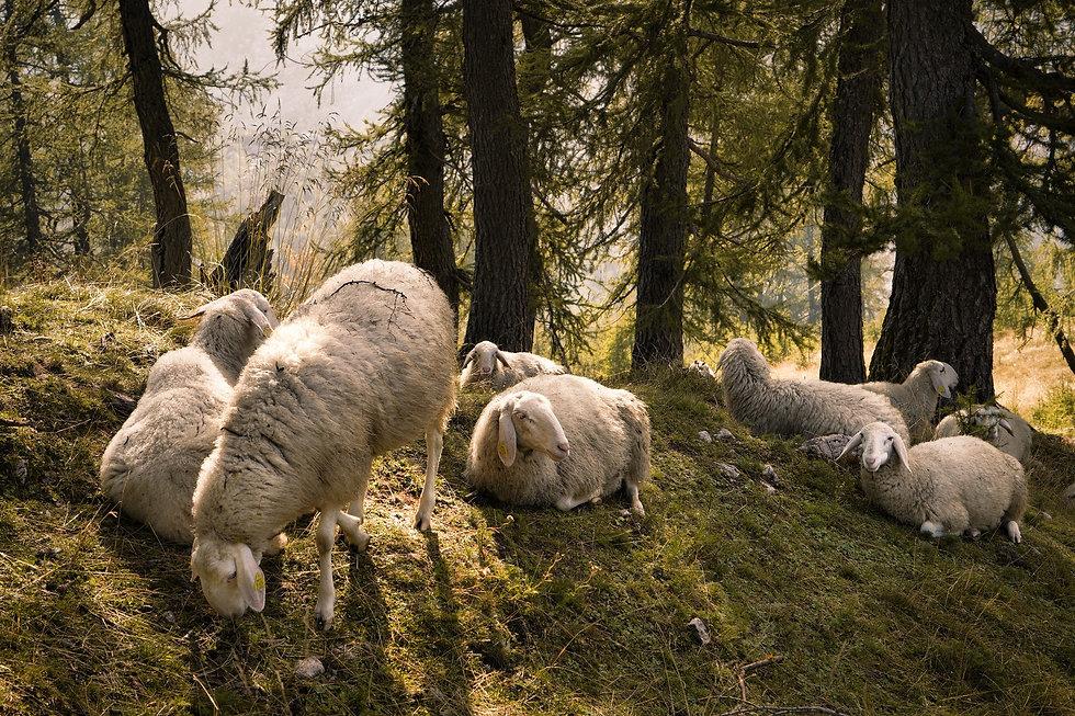 Schafe beim grasen an der slemenova spic
