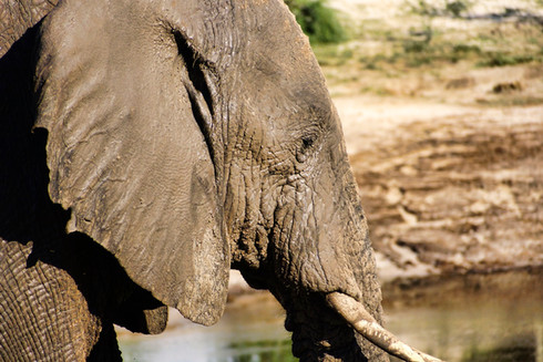 Elefant in Botsuana