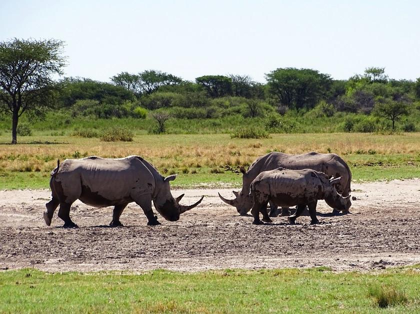 Nashörner im Khama Rhino