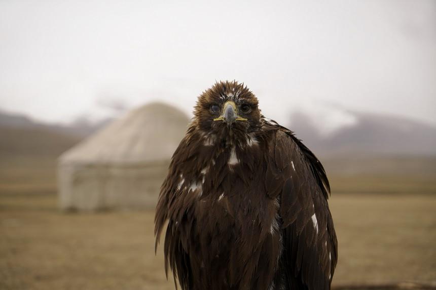 Jagd-Adler in Kirgisistan