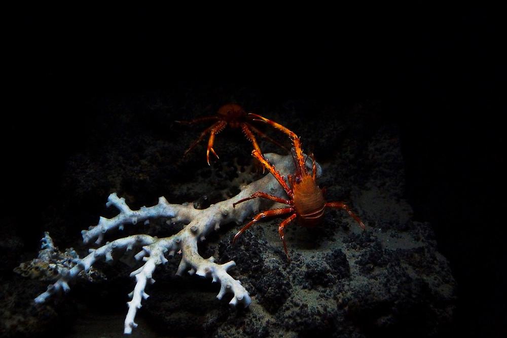 Kämpfende Krabben - Churaumi Aquarium Okinawa