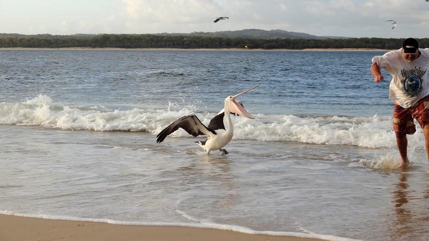 Pelikan attackiert Fischer