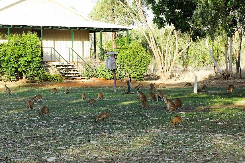 Wallabies in Fitzroy Crossing