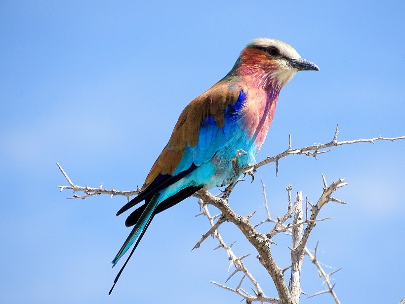 Gabelracke im Etosha Nationalpark - Namibia