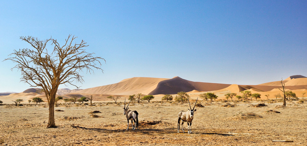 Oryx Antilopen in der Namib wueste namib