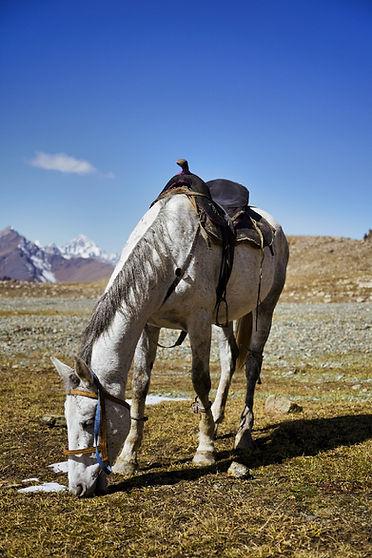 pferd beim grasen in kirgisistan.jpg