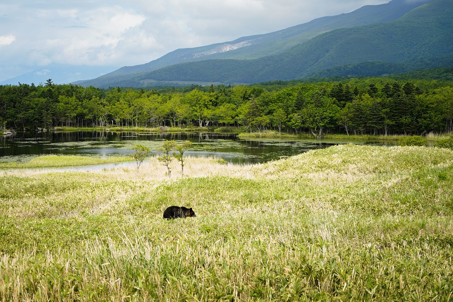 Frei lebender Bär im Shiretoko Nationalpark