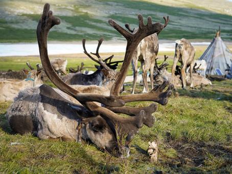 Rentiere in der Mongolei: Ein Besuch bei den Tsaatan Rentier Nomaden