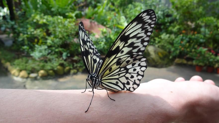Schmetterling - Singapur