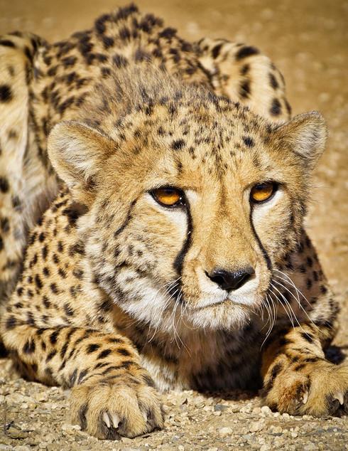 gepard in namibia.jpg