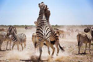 Zebras im Kampf im Etosha Nationalpark.j