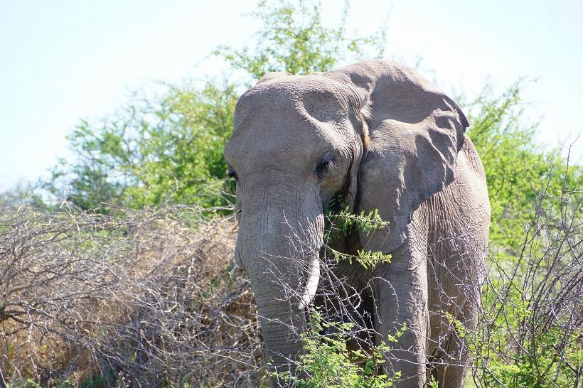 Elefant im Etosha Nationalpark - Namibia