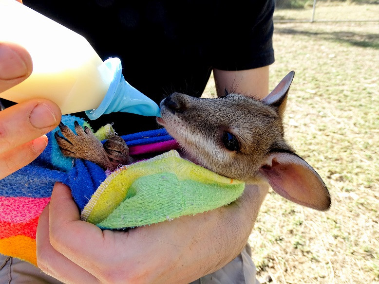 Wallaby Baby in Fitzroy Crossing