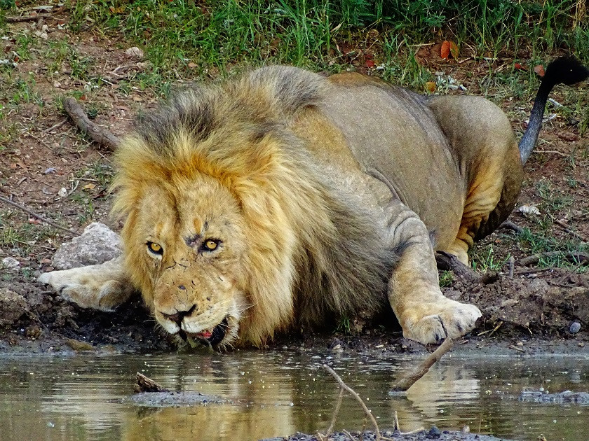 Löwen hautnah - Limpopo Lipadi Game Reserve