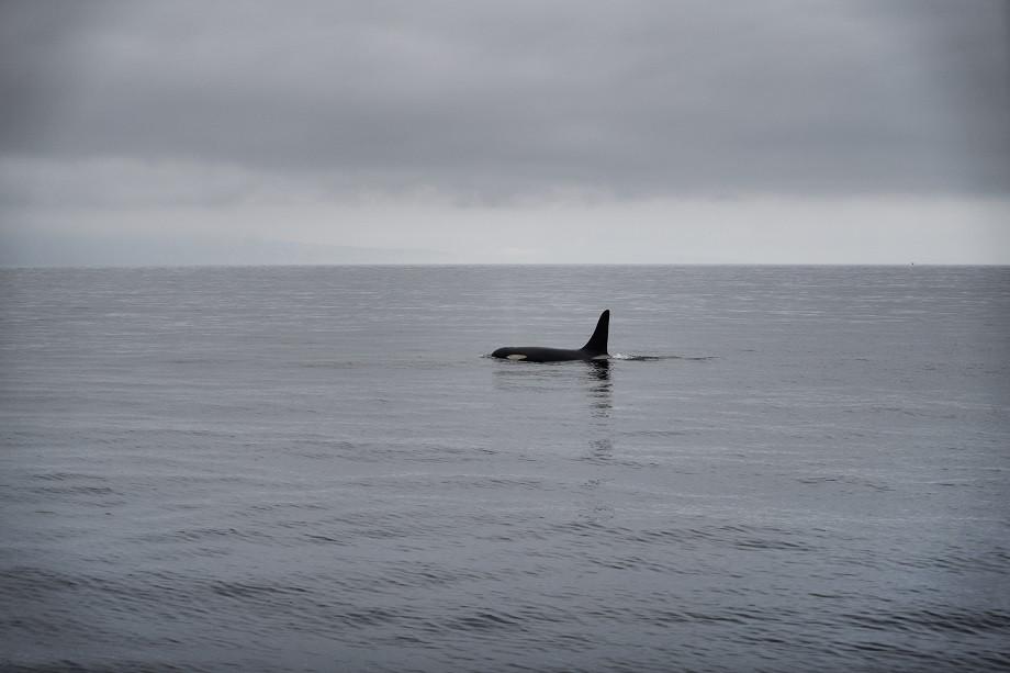 Orca vor der Küste von Rausu