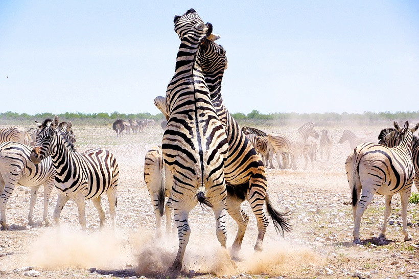 Hunderte Zebras im Etosha Nationalpark - Namibia