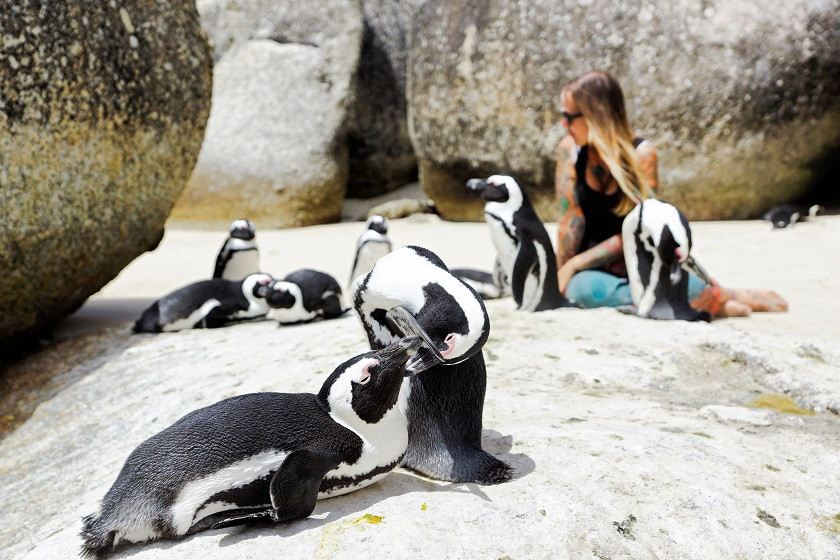 Freilebende Pinguine am Boulders Beach