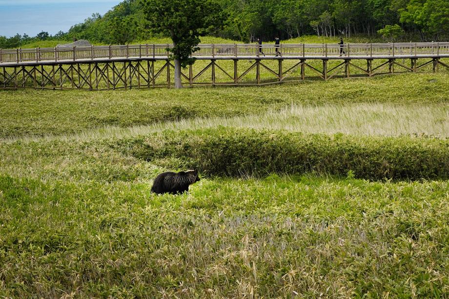 Frei lebender Braunbär an den Shiretoko 5 Lakes