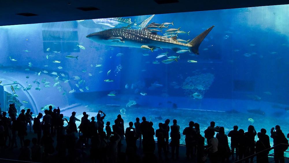Walhai - Churaumi Aquarium Okinawa