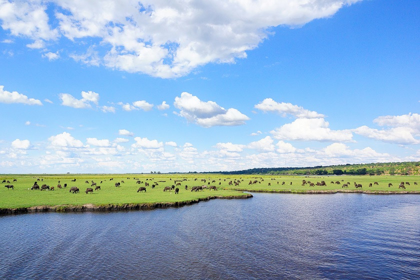Riesige Wasserbüffelherde im Chobe Nationalpark