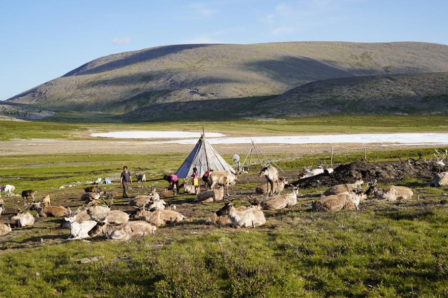 Lager der Tsaatan Nomaden inmitten ihrer Rentierherde