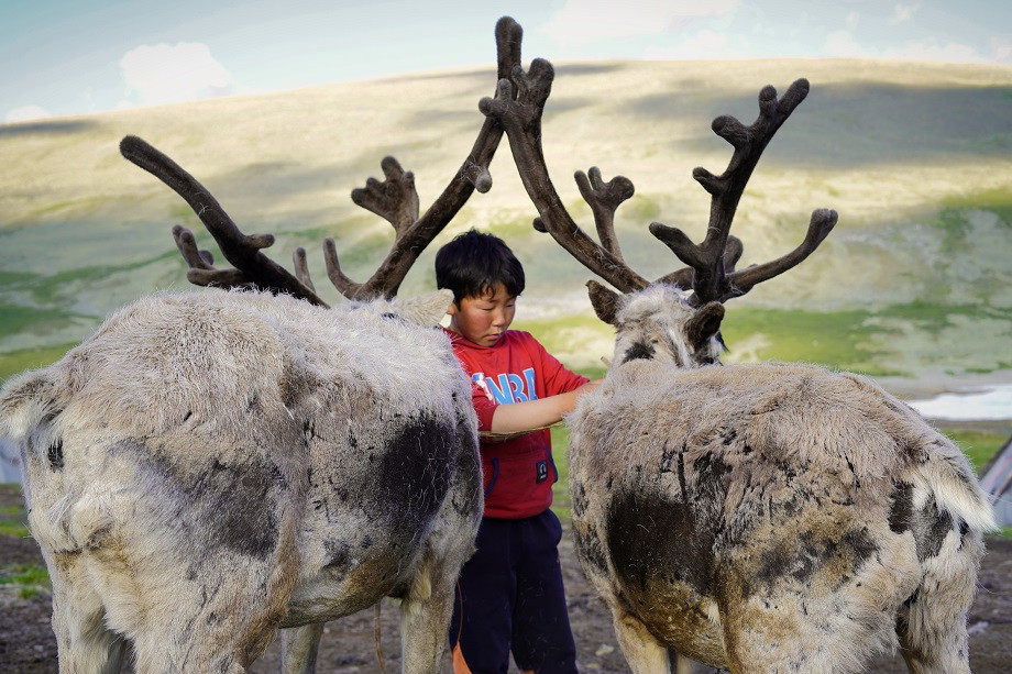 Tsaatan Junge bereitet die Rentiere zum Weiden vor