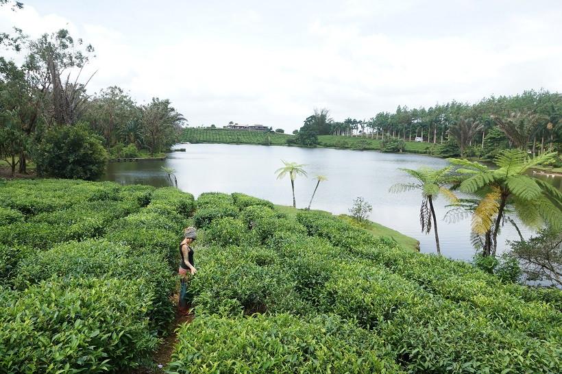 Teeplantagen - Mauritius