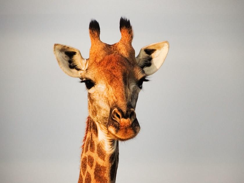Giraffe im Limpopo Lipadi Game Reserve