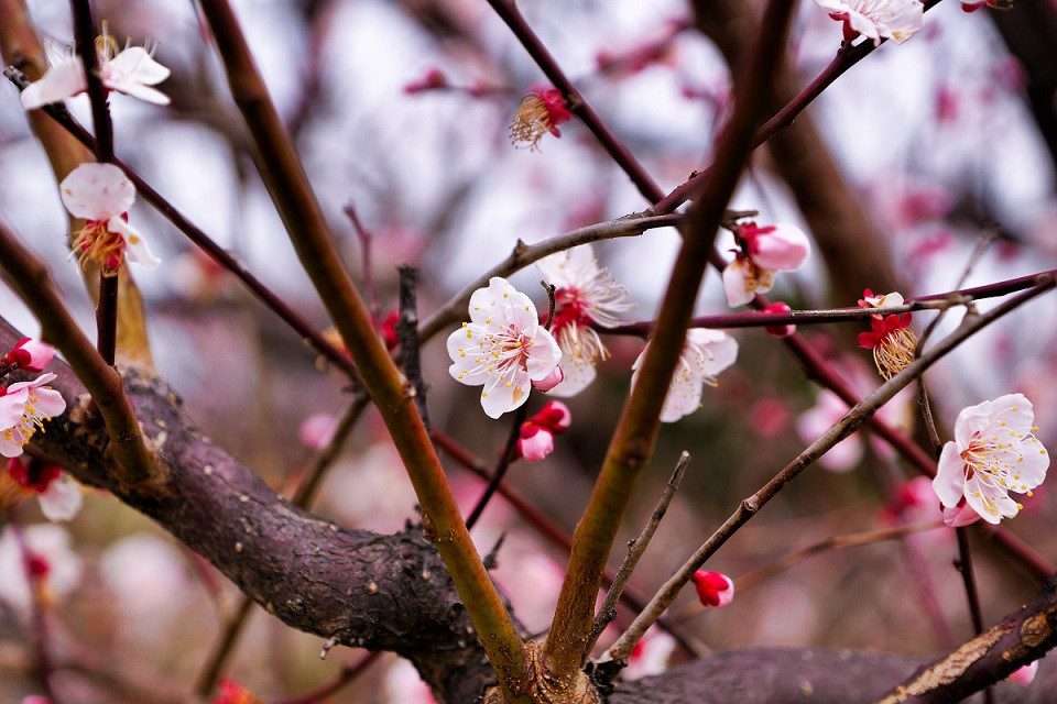 Kirschblüte - Hanami in Japan