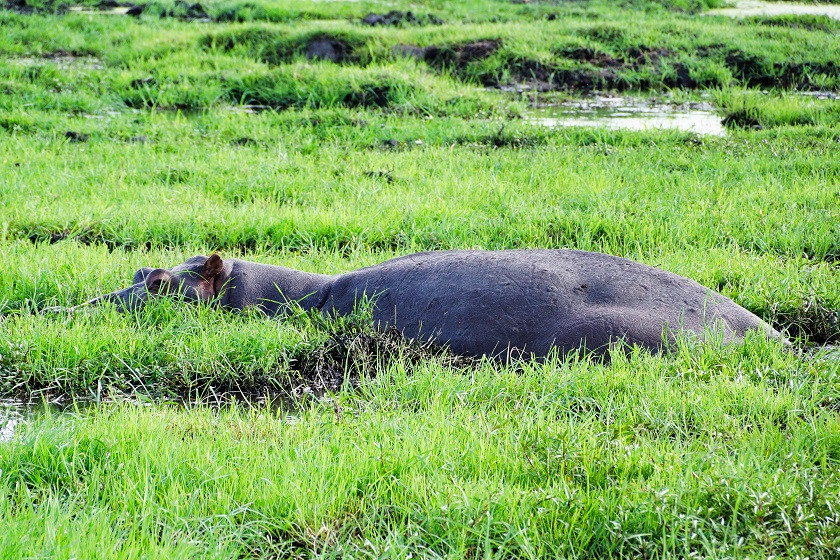 Hippo undercover - Chobe Nationalpark