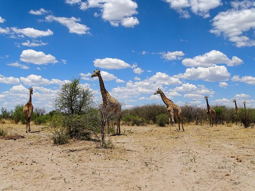 Giraffen im Makgadikgadi Nationalpark