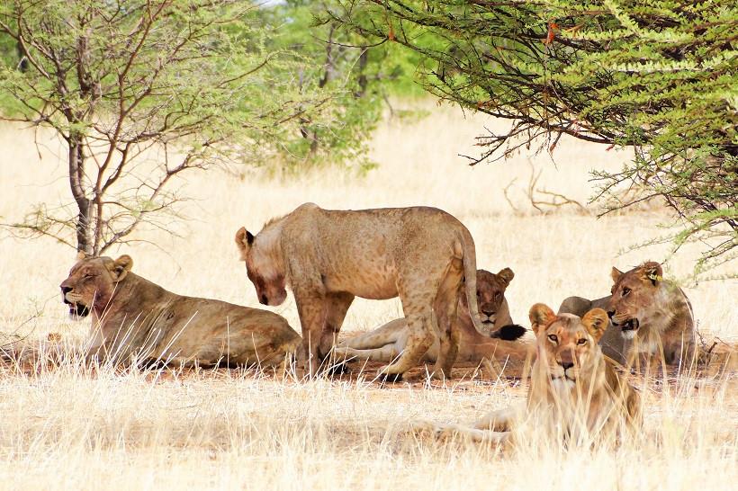 Löwen im westlichen Teil des Etosha Nationalparks - Namibia