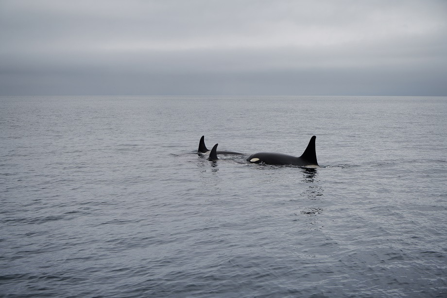 Orcas vor der Küste von Rausu