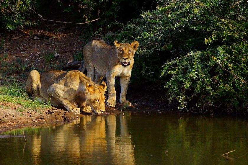 Gänsehaut beim Beobachten der Löwen - Botswana