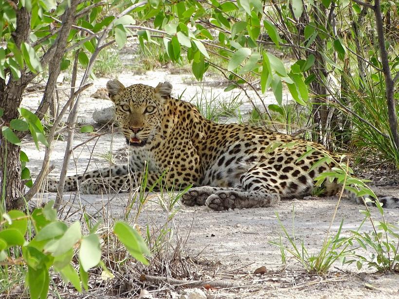 Leopard im Etosha Nationalpark - Namibia