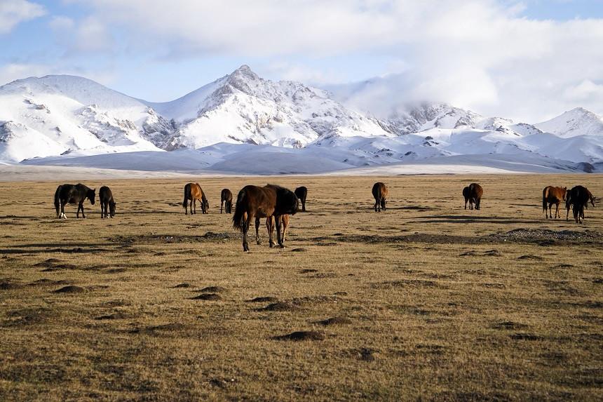Pferde vor schneebedeckten Bergen am Song Kul See